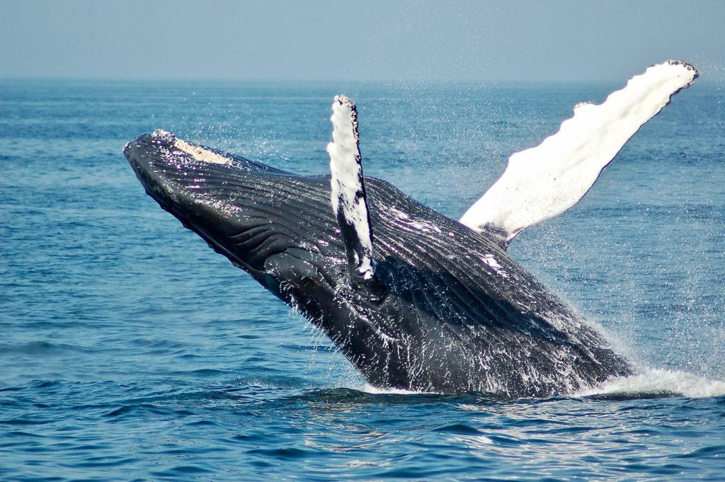 Наблюдение за китами в Доминикане